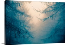 Forest trees in fog