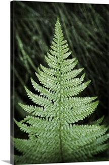 Fern Leaf Tree