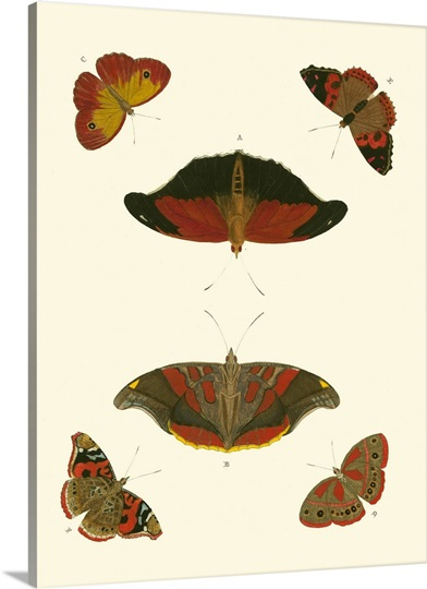 Cramer Butterfly Study III