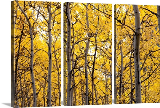 Autumn scenic of colorful yellow Aspen trees Eagle River Valley