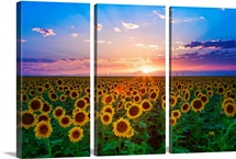 Sunset from sunflower field on eastern plains of Colorado, near Denver.