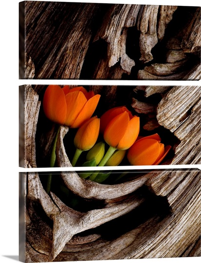 Orange Tulips Displayed in Tree Trunk