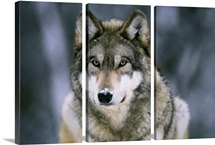 Gray wolf at the International Wolf Center, Ely, Minnesota