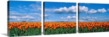 Orange Tulip Field Skagit Valley WA