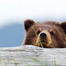 A brown bear cub rests its head on a log