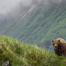A brown bear stands on a ridge in Amalik Bay near Geographic Harbor on the Katmai coast