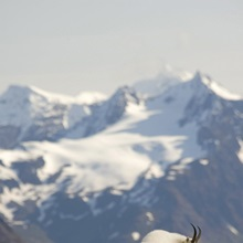 A Mountain Goat stands on a ridge with the scenic Kenai Mountains