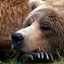 [Image: brown-bear-resting-katmai-natl-park-sout...pg?max=128]