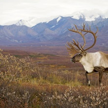 Bull caribou on Autumn tundra with Alaska Range in the background