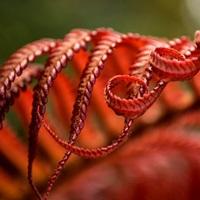Close up of a crimson Amau fern; Hawaii