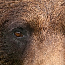Close up of a female Brown bear's face at the Alaska Wildlife Conservation Center