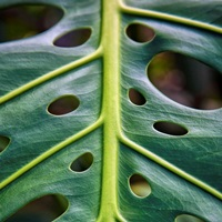 Close up of a green leaf with holes in it; Hawaii