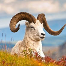 Dall sheep ram with fall colors