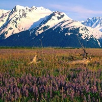 Field Of Lupine Flowers Along Turnagain Arm, Southcentral, Alaska