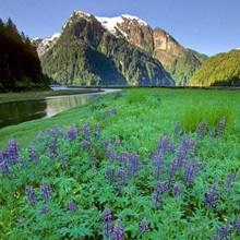 Field of Lupine & Rudyerd River Misty Fjords Monument