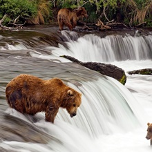 Grizzly bears fish at Brooks Falls in Katmai National Park, Alaska
