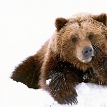 Grizzly resting head on paw while laying in snow