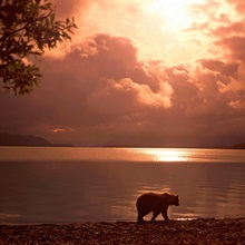 Grizzly Walking Along Naknek Lake Katmai NP Alaska Summer