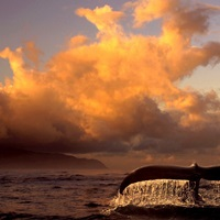 Humpback Whale Tail in Water
