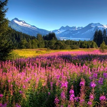 Scenic view of Mendenhall Glacier and Fireweed in the foreground, Juneau, Alaska