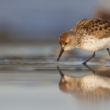 Western Sandpiper foraging on mudflats with reflection, at Hartney Bay, Copper River