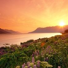 Wildflowers at Sunset Along Turnagain Arm Chugach NF AK