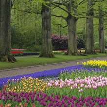 Garden of daffodils, tulips, and hyacinth flowers, Keukenhof Gardens, Lisse, Netherlands