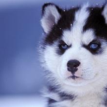 Closeup portrait of six-week-old Siberian Husky puppy
