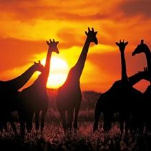 Giraffe herd in silhouette against sunset , Botswana, South Africa