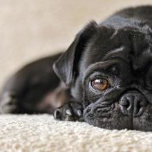 Resting pug dog
