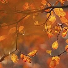 Italy, Friuli Venezia Giulia, beech leafs in autumn