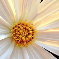 Daisy Detail in Sunlight
