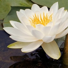 White Waterlily with Green Lilypads
