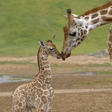 Rothschild Giraffe  mother kissing calf, native to Africa