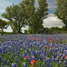 Sand Bluebonnets and Indian Paintbrush in bloom Hill Country Texas