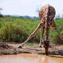 A giraffe leaning to drink from a water hole, Samburu National Reserve, Kenya
