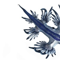 A Glaucus nudibranch camouflaged in blue and silver
