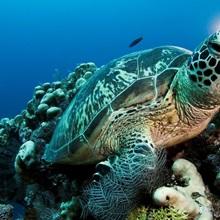 A green sea turtle, Chelonia mydas, awaits high tide off Sipadan Island