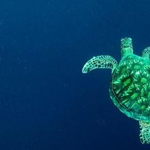 A green sea turtle, Chelonia mydas, swims in open water