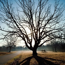 A large spreading oak, Shiloh National Military Park, Tennessee