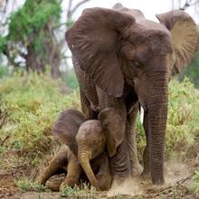 A mother elephant shelters her baby, Samburu National Reserve, Kenya