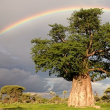 A rainbow over a baobab tree