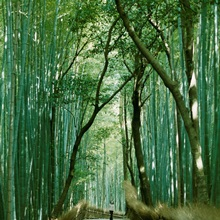 A woman walking in the Sagano bamboo forest, Kyoto, Japan