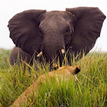 African elephant in aggressive defense posture to lion in grass