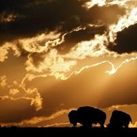American bison graze beneath clouds, Witchita Mountains Wildlife Refuge, Oklahoma