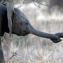 Baby elephants at play in Samburu National Reserve, Kenya