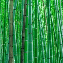 Bright green Bamboo Forest in Kyoto Japan