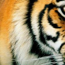 Close up of a captive tigers face, Panthera tigris