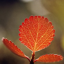 Close view of a leaf, Sheenjek River Valley, Alaska