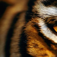 Close view of tiger eye, Madhav National Park, India
